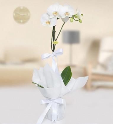 Beyaz Phalanopsiz Orkide