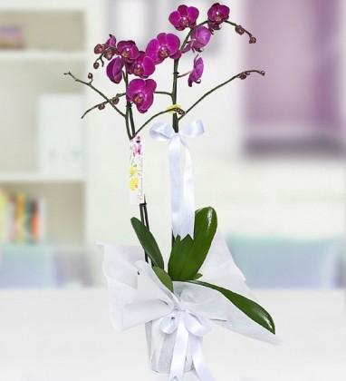 Çift Dallı Orkide (Mor)