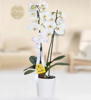 Çiftli Beyaz Orkide