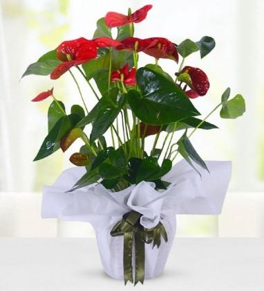 Kırmızı Antoryum