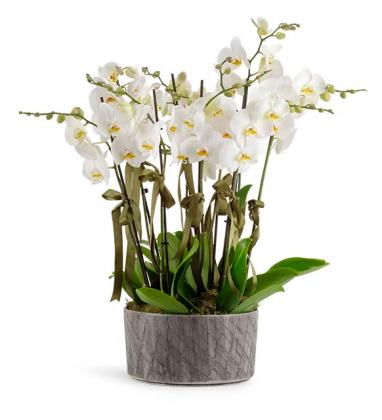 10 Dal Beyaz Orkideler