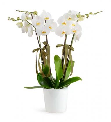 4 Dal Beyaz Orkide