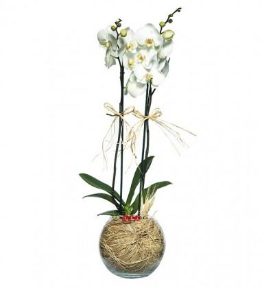 Akvaryum Fanusta 2 Dal Beyaz Orkide Tasarımı