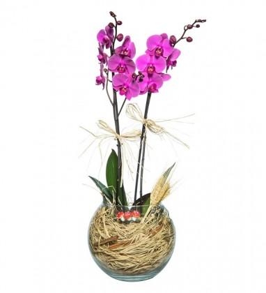 Akvaryum Fanusta 2 Dal Mor Orkide Tasarımı
